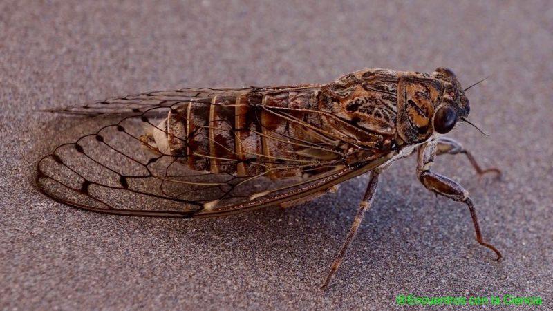 Cicada orni, el Top nº1 del verano una vez más…