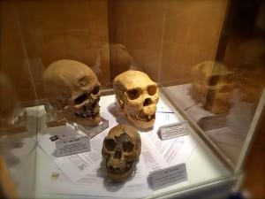 Vitrina de Paleoantropología